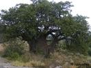 Baobab fa