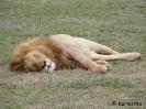 Jóllakott oroszlán